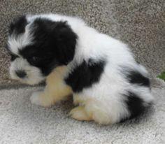 teddy bear shihchon shih tzu bichon frise puppy dog picture