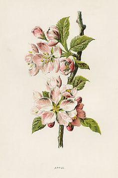 apple blossom print vintage   Apple Blossom, Antique Print, circa 1890
