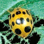 How to identify and get rid of Mexican bean beetles. Tips from The Old Farmer's Almanac.