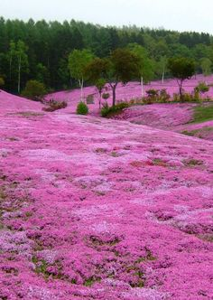 Pink carpet - Moss Phlox in Takinoue Park, Hokkaido, Japan