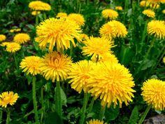 A MAGYAROK TUDÁSA: Gyermekláncfű - Pongyolapitypang - recept Taraxacum Officinale, Healthy, Plants, Flowers, Blog, Medicine, Gardening, Beads, Life