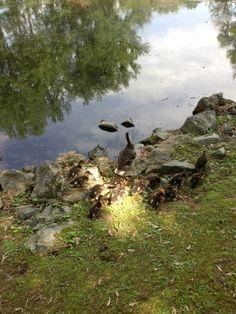 Baby ducks following mom