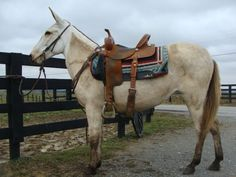 Buttermilk Buckskin Molly Mule Gaited $2000