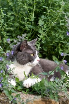 walkers_low_catmint 4