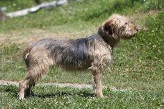 Bosnian hound dog