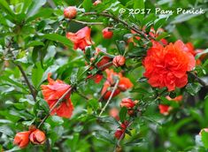 Spring blooms on a pomegranate tree   Digging