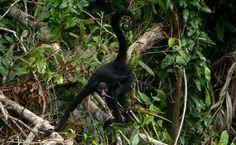 Macaco-aranha-de-cara-branca (Ateles marginatus).