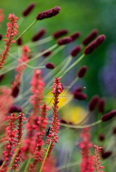 Persicaria 'Firedance' and Sanguisorba 'Red Thunder'