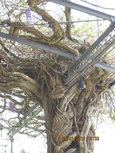 wisteria vines @ biltmore estate