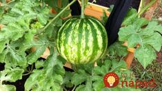 Learn how to grow watermelon in pots. Growing watermelon in containers allow this big, sweet and juicy fruit to grow in smallest of spaces. List Of Vegetables, Container Vegetables, Fresh Vegetables, Container Gardening, Watermelon Plant, How To Grow Watermelon, Edible Garden, Garden Pots, Vegetable Garden