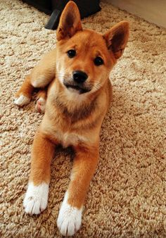 Marla the Shiba Inu Mix/ saw her on the Daily Puppy. OOh a shiba mix. . . .how perfect!  Look at her cute white paws!
