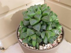 Haworthia retusa. I have this succulent. They are unique and very attractive.