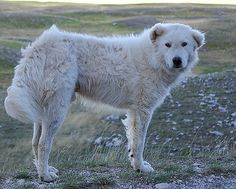 The Maremma dog is one of the largest Italian dog breeds. But is this Italian sheep dog the right animal for you? Maremma Dog, Maremma Sheepdog, Airedale Terrier, Guard Dog Breeds, Italian Dogs, Dog Breed Selector, Dog List, Great Pyrenees, Alaskan Malamute