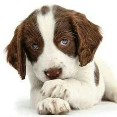 English Springer Spaniel Dog Breed Information and Pictures Informations About English Springer Spaniel Dog Breed Information and Pictures Pin You … Chien Springer, Springer Puppies, Cavapoo Puppies, Puppys, Spaniel Breeds, Spaniel Dog, Dog Breeds, Baby Dogs, Dogs And Puppies