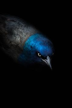 `Angle Black blue bird Portrait