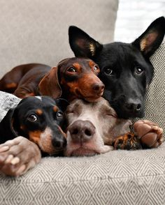 Happy Mother's Day from Mama Harlow and all of her little dogs! Cute Dogs And Puppies, I Love Dogs, Doggies, Dachshunds, Cute Funny Animals, Funny Dogs, Funny Dog Pictures, Funny Photos, Smiling Dogs