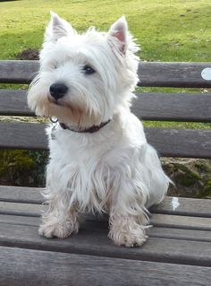 """Click visit site and Check out Cool """"Westie"""" Shirts. This website is excellent. Tip: You can search """"your name"""" or """"your favorite shirts"""" at search bar on the top."""