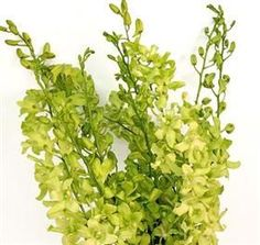 green dendrobium orchid