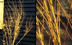 Bihou Yellow Bark Japanese Maple is a member of the Coral Bark family, has outstanding, bright yellow branches and stems during winter and summer on an upright tree from 6 to 10 feet in height with a 4 to 6 foot spread.