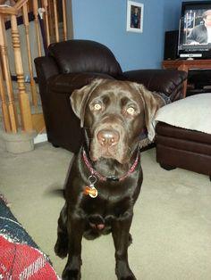 Rowdy Labrador | Pawshake