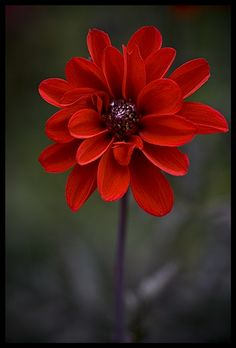 Red Dahlia Dahlia is a genus of bushy, tuberous, herbaceous perennial plants native to Mexico, Central America, and Colombia. Scientific name: Dahlia Rank: Genus Higher classification: Coreopsideae this would be perfect for the bouquet Amazing Flowers, My Flower, Beautiful Flowers, Amazing Red, Dahlia Flower, Peony, Awesome, Planting Flowers, Flowering Plants