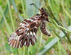 Zerynthia cassandra (Geyer, 1828) - le farfalle della Puglia