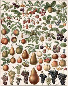 1897 Fruits Illustration Antique Botanical Print by Craftissimo