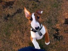 12 Signs You Are A Crazy English Bull Terrier Person Pitbull Terrier, Mini Bull Terrier Puppies, Chien Bull Terrier, British Bull Terrier, Miniature Bull Terrier, English Bull Terriers, Terrier Dogs, Lab Puppies, Mini Bullterrier