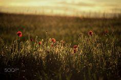 Red poppy - null