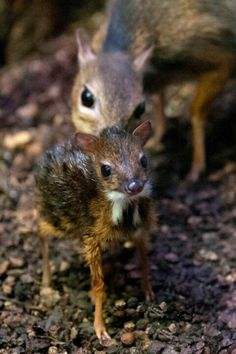 Baby deer mouse.. awwe