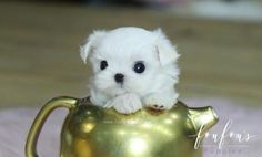 Welcome to FouFou Puppies. The Home of the World's Most Exquisite Teacup Maltese for Sale. Contact Us Today to Reserve Your Puppy! Ask for Our 'Special Order' Option. We Can Locate Your Dream Puppy! Teacup Maltese For Sale, Micro Teacup Puppies, Maltese Puppies For Sale, White Puppies, Maltese Dogs, Little Puppies, Baby Puppies, Teacup Maltese Puppies, Teacup Dogs