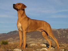 Rodhesian ridgeback