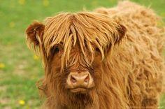 Calf, red-brown Scottish Highland Cattle, Kyloe