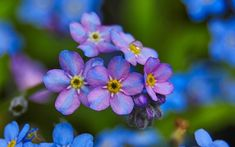 Forget-me-not flowers, a variation in color might be cool for a tattoo. I wonder if this is a real variety or if its digitally edited.