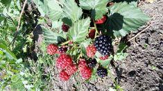 Cultura de Capsuni: sfaturi practice pentru venituri de cel putin 23.000 de euro la hectar | StiriAgricole.ro Euro, Fruit