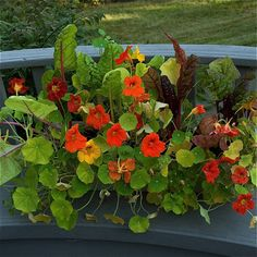 Both nasturtiums and rainbow chard like full sun, but can tolerate partial shade.