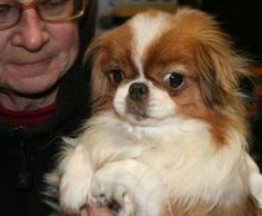 Sweet Pea is an adoptable Japanese Chin Dog in Newtown CT. Sweet Petunia is a' Special Needs 'Japanese Chin. She is of love and devotion for the person that will show her the same. Dog Lover Gifts, Dog Lovers, Japanese Chin Puppies, Pekingese Dogs, Puppy Mills, Little Dogs, Petunias, Shih Tzu, Cute Puppies