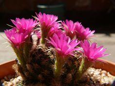 Floraciones - Adriana Celli - Álbumes web de Picasa Cactus Y Suculentas, Natural, Plants, Pest Control, Compost, Picasa, Flowers, Plant, Nature