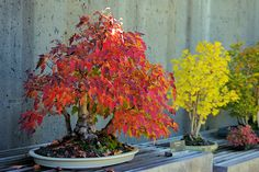 Bonsai at NC Arboretum with fall color - Asheville NC. Had gone to Asheville a bajillion times and never made it here. Now that I've been, I vow to make it a frequent stop. Beautiful, peaceful gardens!