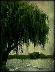 Weeping Willows.