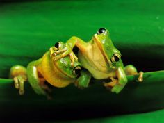 Frogs Jumping Crazy.com: tree frog facts
