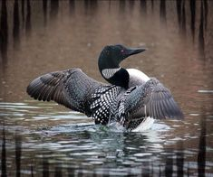 Common Loon (Gavia) spreading its wings.