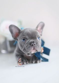 Browse tiny French Bulldog puppies for sale by TeaCups, Puppies & Boutique of South Florida! We carry blue Frenchie puppies and more! Teacup French Bulldogs, Lilac French Bulldog, Blue French Bulldog Puppies, Blue French Bulldogs, French Bulldog Breeders, Teacup Puppies For Sale, Bulldog Puppies For Sale, Cute Puppies, Cute Dogs