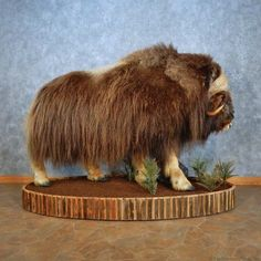 This gorgeous Greenland muskox taxidermy mount is for sale and ready for your diorama @thetaxidermystore.com
