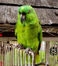 Crackers the parrot. Ocho Rios, Crackers, Parrot, Caribbean, Jamaica Jamaica, River, Island, Places, Birds
