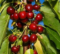 Economic Cooperative – Buy wholesale sweet cherry fruit trees directly from the nursery
