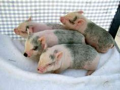 Happy puppy shopping with mommy - Wuvely This Little Piggy, Little Pigs, Miniature Pigs, Pot Belly Pigs, Cute Piggies, Pet Pigs, All About Animals, Creature Feature, Cute Creatures