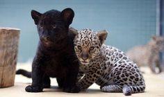 jaguarcitos1