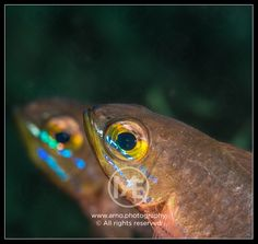 Two cardinalfish.   © Arno Enzerink / www.stockphotography.nu. All rights reserved.