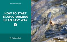 How to Start Tilapia Farming Fish Farming Ponds, Tilapia Fish Farming, Beekeeping For Dummies, Farmers Only, Small Fish, Types Of Fish, Aquaponics System, Hydroponic Gardening, Freshwater Fish